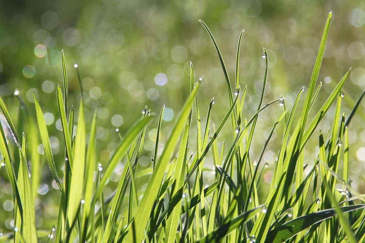 dauwdruppels op groen gazon